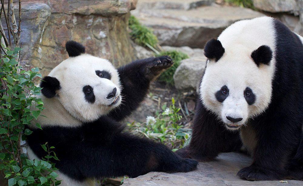 Pandas | Adelaide Zoo | Self Storage Australia Adelaide